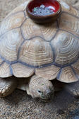 Coin collection bowl stick on the shell of Turtle — ストック写真