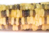Close up shot of boiled waxy corn — Stock Photo
