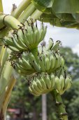 Young bunch of bananas on tree — Stock Photo