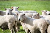 Multiple sheep — 图库照片