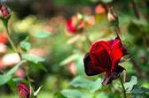 Dark red rose — Stock Photo