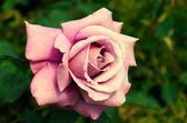 Light pink rose large — Stock Photo