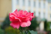 Large rose on a light background — Стоковое фото