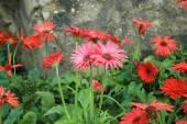 Red Gerbera flower — Stock Photo