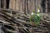 Spring snowdrop flowers in forest — Stock Photo