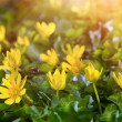 Yellow spring flowers in the garden with flying bee and sun rays beam, soft focus — Stock Photo #70110407