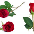 Red rose set flower close-up isolated on white clipping path included — Stock Photo #70136635