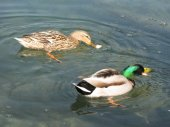 Duck playing in the water on the lake — Stock Photo