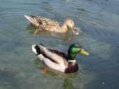 Duck enjoy in the water on the lake — Stock Photo