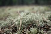 Cladonia rangiferina — Stock Photo