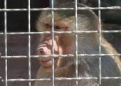 Sad Monkey in cage — Stock Photo