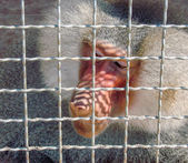 Male baboon sits in cage — Foto de Stock