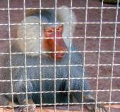 Male baboon sits in cage — Stock Photo