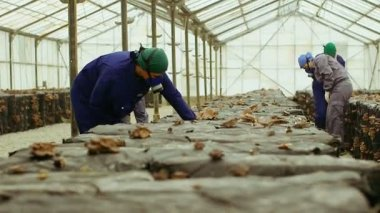 Workers gather mushrooms in the farm — Stock Video