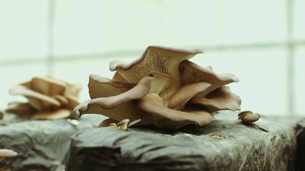 Setas de ostra en la granja — Vídeo de stock