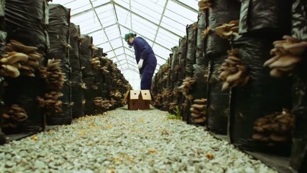 Los trabajadores recoger setas en la granja — Vídeo de stock