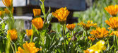 Orange Marigold flowers — Stock Photo