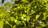 Green fruits growing on tree — Stock Photo