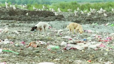 Dogs and flock of birds on Garbage dump — Stock Video