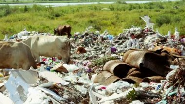 Cows grazing in Garbage ground — Stock Video