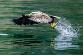 Bald eagle visserij — Stockfoto