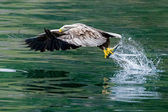Bald eagle fiske — Stockfoto