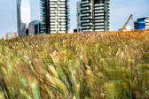 Wheatfield land in Milan — Stock Photo