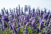 Lavander fields — Stock Photo