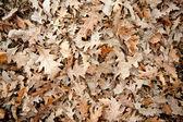 Oak leaf background — Stock Photo