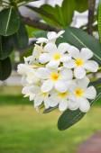 The white plumeria — Stok fotoğraf