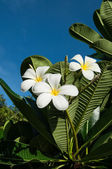 The white plumeria — Foto Stock