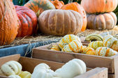 Pumpkins and gourds fresh picked from the farm — Stock Photo