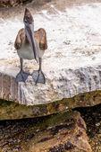 Pelicans at Galveston Island, TX — Stock Photo