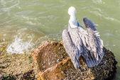 Pelicans at Galveston Island, TX — Stockfoto