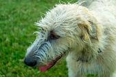 Wheaton Irish Wolfhound — Stock Photo
