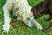 Chocolate lab and Irish Wolfhound dogs playing — Stock Photo