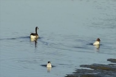 Goose swimming by two ducks diving in search of food — Stock Video