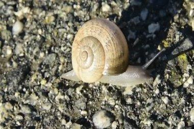 Snail crawling slowly across asphalt — Vídeo stock