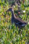 Duck in a field of flowering aloe vera plants — Stockfoto