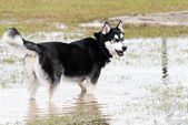 Dogs playing in a flooded dogpark - syberian husky — Stockfoto
