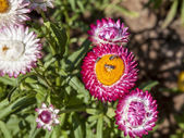 Strawflower  in the garden — Stock Photo