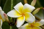 White and yellow frangipani flowers with leaves — Stock Photo