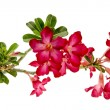 Close-up Impala Lily or  desert rose isolate on white background — Stock Photo #69817217