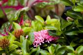 Close up Ixora flower of blooming — Stock Photo