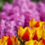 Beautiful fresh and vivid yellow an red tulips — Stock Photo #72250103