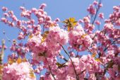 Pink cherry blossom flowers . — Stock Photo