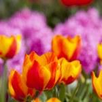 Beautiful fresh and vivid yellow an red tulips — Stock Photo #72447387
