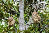 Durian on  tree — Stock Photo