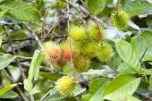 Rambutan on tree — Stock Photo