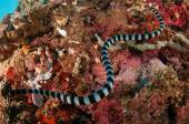 Aquatic sea snake is crawling above the various coral reefs in Gorontalo, Indonesia underwater photo — Stock Photo